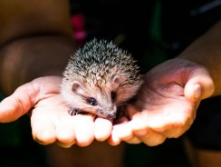 How Hard Is It To Take Care Of A Hedgehog? | Hedgehog Care Guide