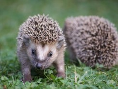 What Sound Does A Hedgehog Make? 7 Surprising Sounds!