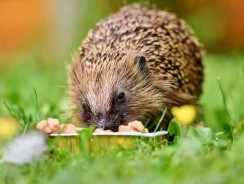 What Does A Baby Hedgehog Eat?   How Often To Feed A Baby Hedgehog?