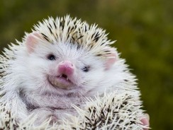 Do Hedgehog Quills Come Out?   Hedgehog Quills Falling Out
