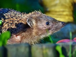 What Does A Hedgehog Eat In The Wild? | What Do Pet Hedgehogs Eat?
