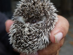 How Many Babies Does A Hedgehog Have? Baby Hedgehog Care