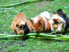 Why Does My Guinea Pig Poop So Much? | 3 Vital Hygiene Tips