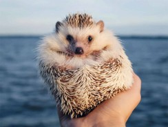 Hedgehogs As Pets – Ultimate Pet Hedgehog Guide (Pros And Cons)