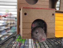 How to Litter Train a Rat | Teach Your Rodent Where to Do Its Business
