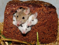 Do Rats And Mice Live Together? Do Rats And Mice Get Along?