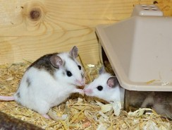9 Practical Facts About Mice As Pets! Is A Pet Mouse Right For You? (Pros And Cons)
