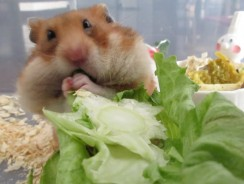 Can Hamsters Eat Lettuce? Guide on What Hamsters Can Eat