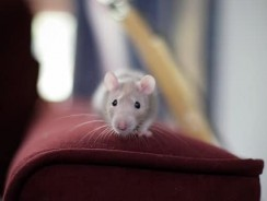How High Can Mice Jump? | Can Mice Jump On Beds?