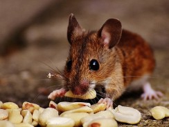 What Do Mice Eat As A Pet? What Can Pet Mice Eat List?