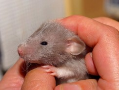 How Many Babies Can A Rat Have? How Often Does A Rat Reproduce?