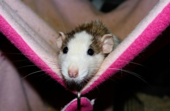 How Much Does It Cost To Neuter A Rat? Rat Neuter Aftercare