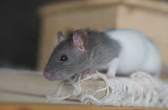 Should I Get a Rat Or Should I Get a Mouse? 5 Key Factors