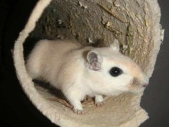 Gerbil Gestation Period Facts – How to Handle New Gerbils!