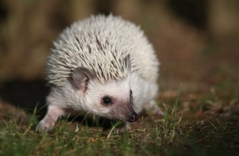 How Many Babies Can A Hedgehog Have?