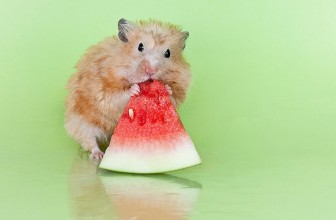Can Hamsters Eat Watermelon? Guide on What Hamsters Can Eat